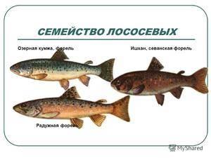 Семейство лососевые: список видов рыбы