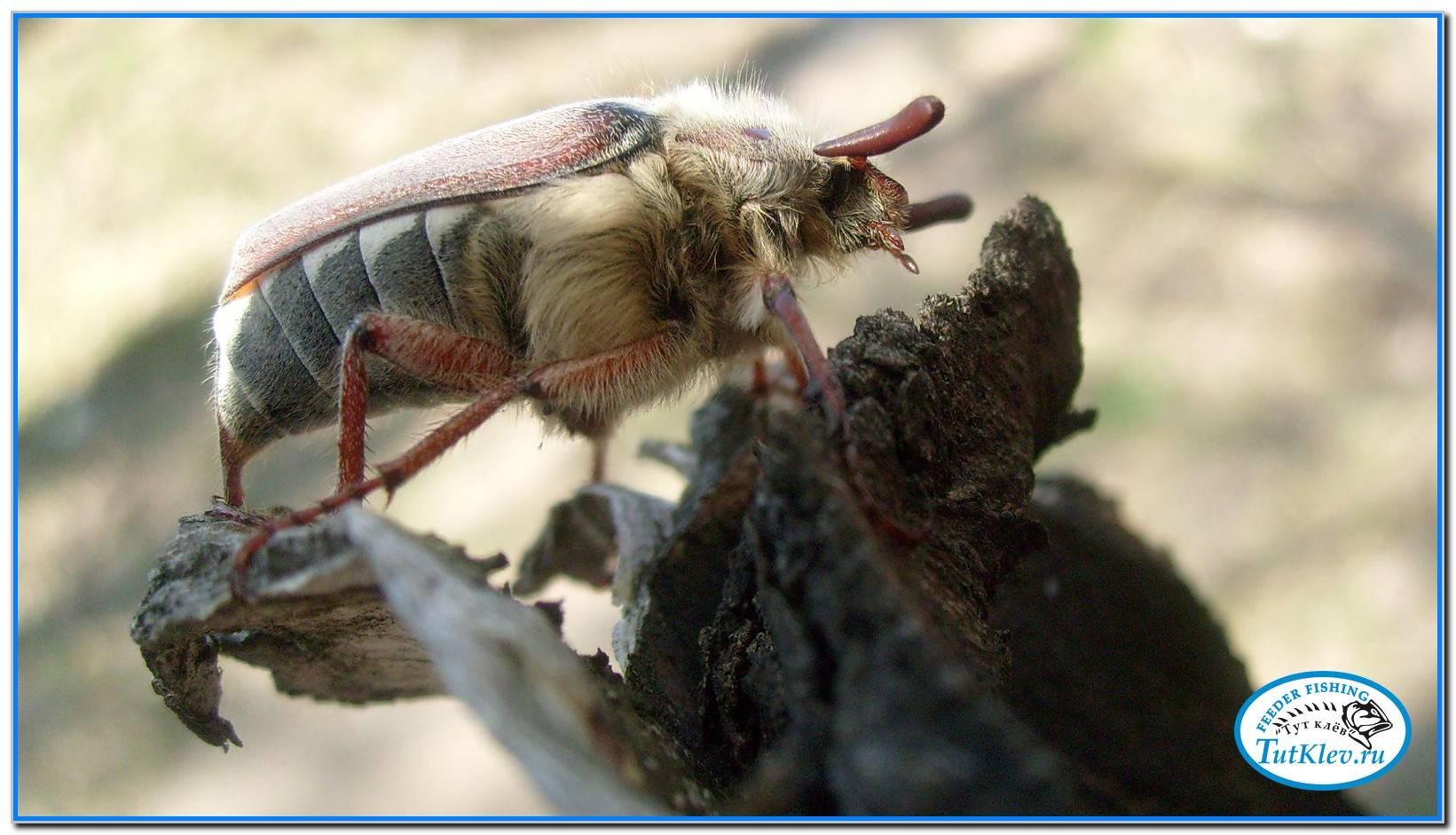 Ловля голавля на майского жука: снасти и эффективная тактика
