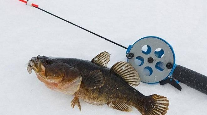 Ловля ротана по первому льду. снасти для ловли ротана зимой