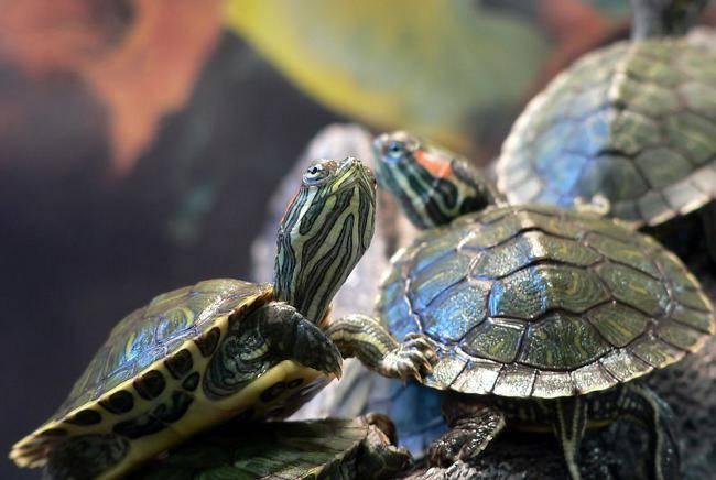 Как вылечить красноухую черепаху от грибка