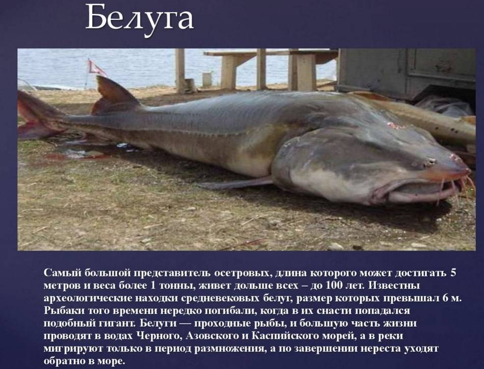 Белуга – описание, ареал, питание, враги, размножение, фото и видео  - «как и почему»
