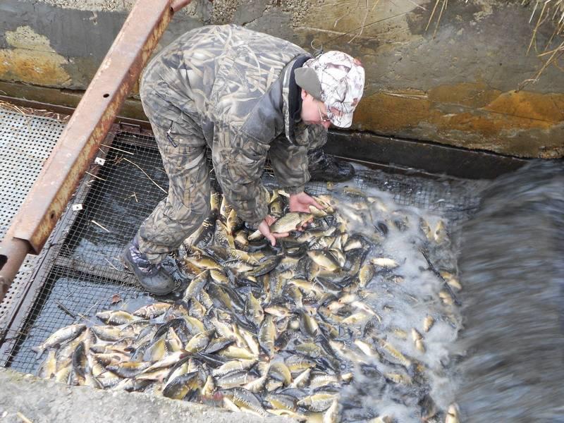 Разведение и выращивание растительноядных рыб