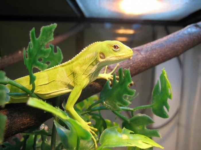 Ящерица обыкновенная в домашних условиях. как определить вид и пол ящерицы по внешним признакам
