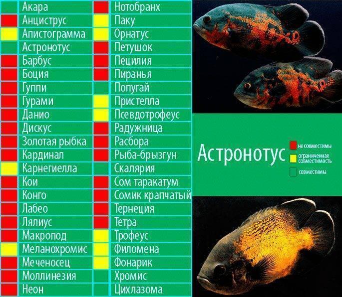 Пираньи в аквариуме: содержание, чем кормить, виды, фото, видео
