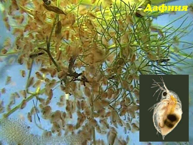 Дафнии в аквариуме: разведение в домашних условиях, где обитает