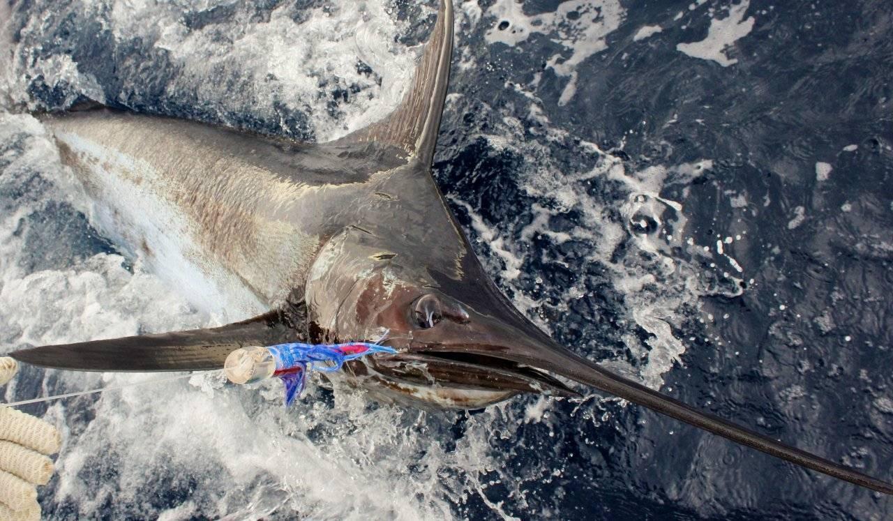 Рыба марлин: чем полезна и чем вредна | польза и вред