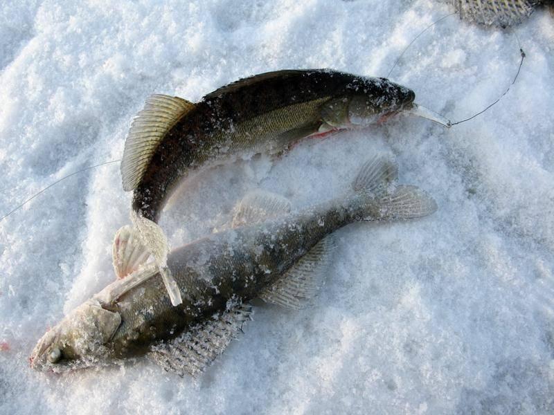 ᐉ ловля судака зимой - ✅ ribalka-snasti.ru