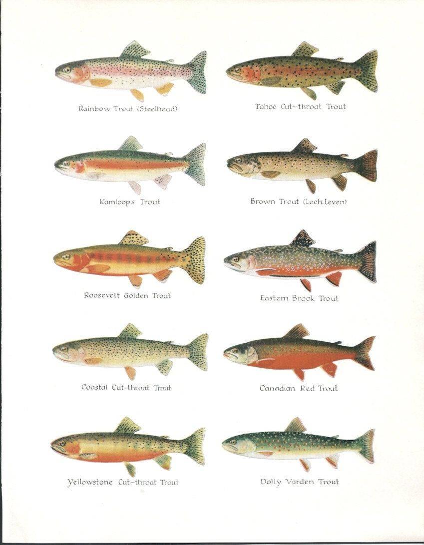 Морская форель: описание, полезные свойства и приготовление, разведение и рыбалка