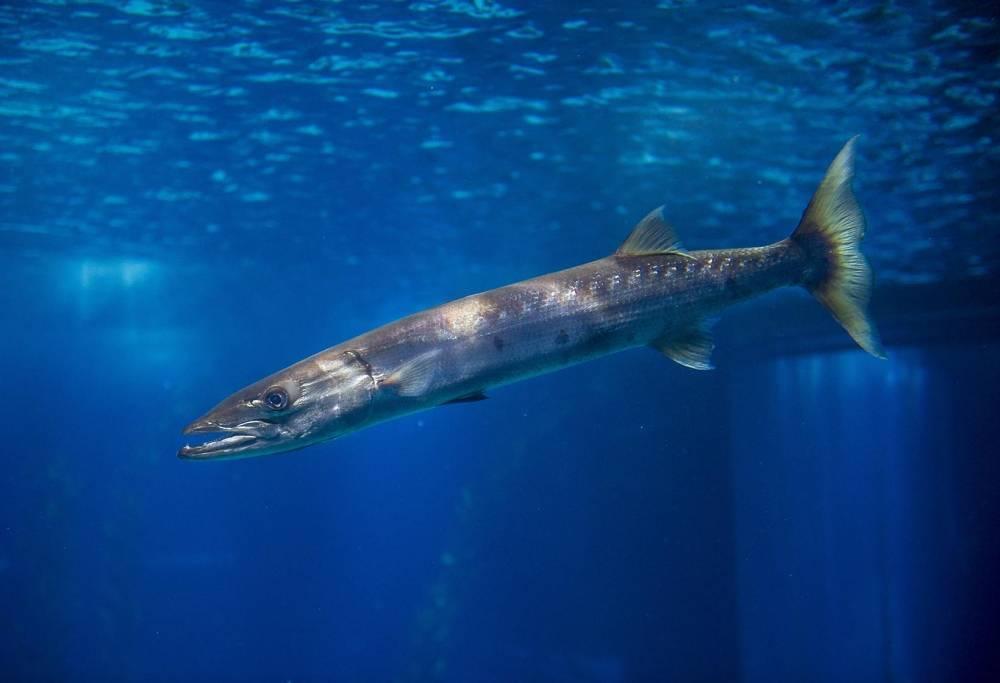 Барракуда рыба. описание, особенности, виды, образ жизни и среда обитания барракуды | живность.ру