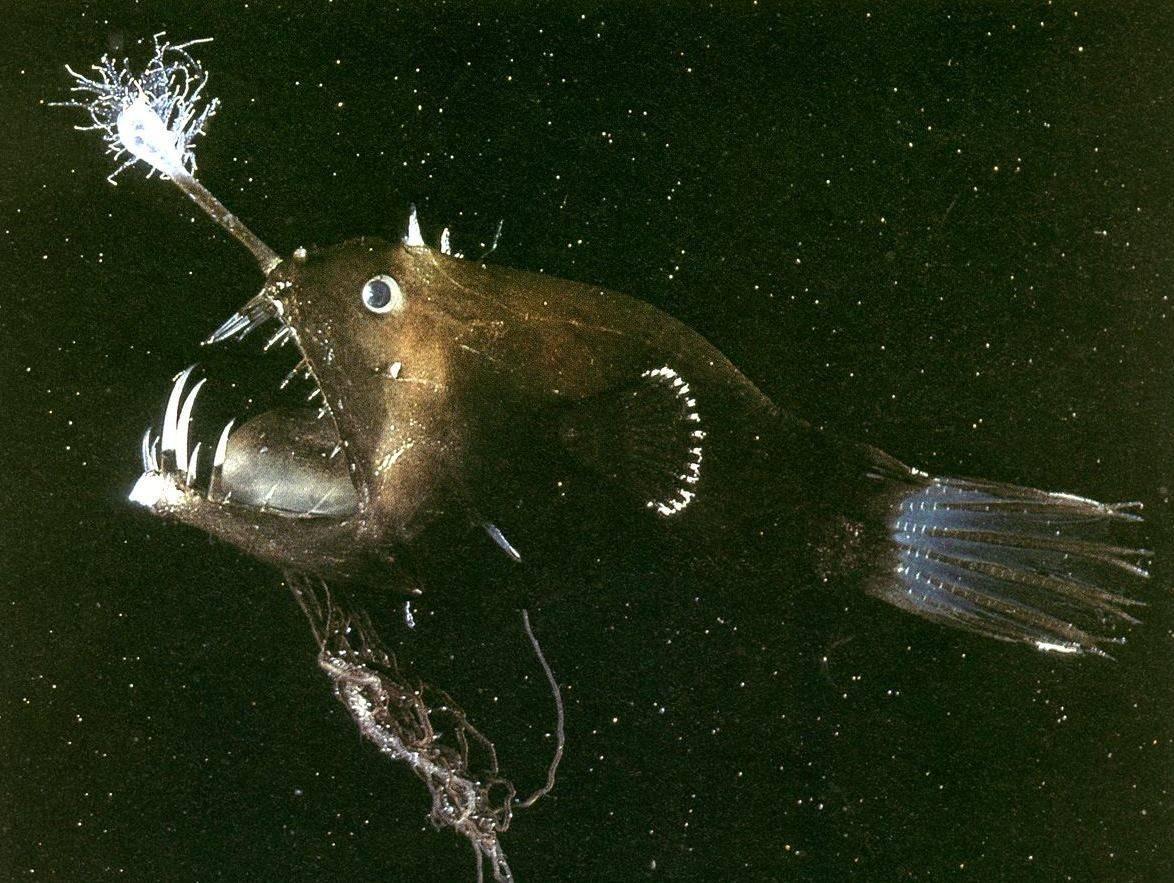 Рыба-фонарь или морской черт: описание и характеристика
