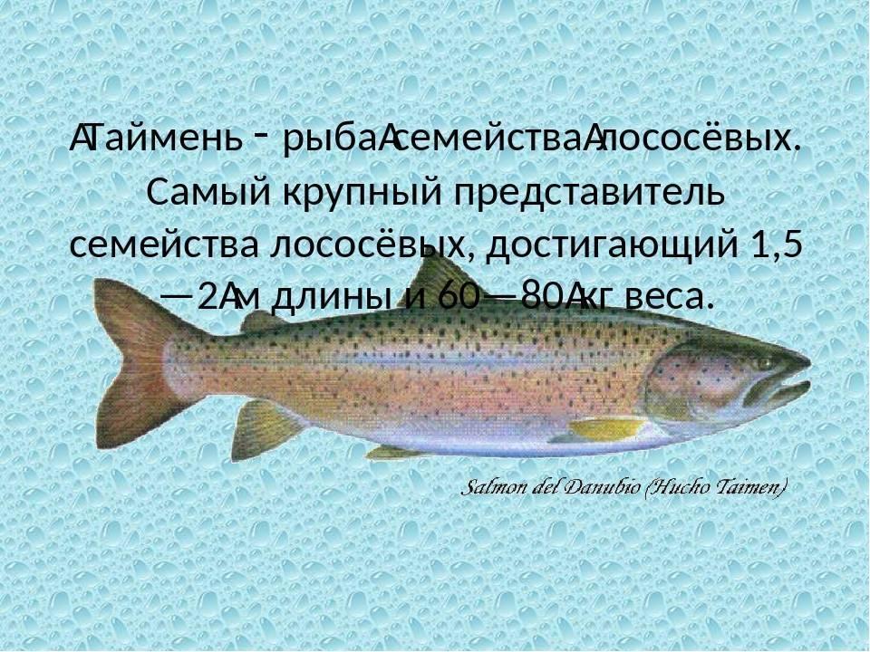 Чем питается форель в природе — ловись рыбка