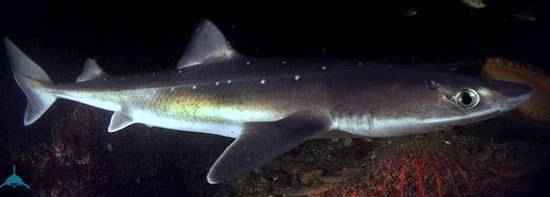 Акула катран (50 фото): описание, места обитания, образ жизни и пищевые предпочтения, применение в кулинарии, видео