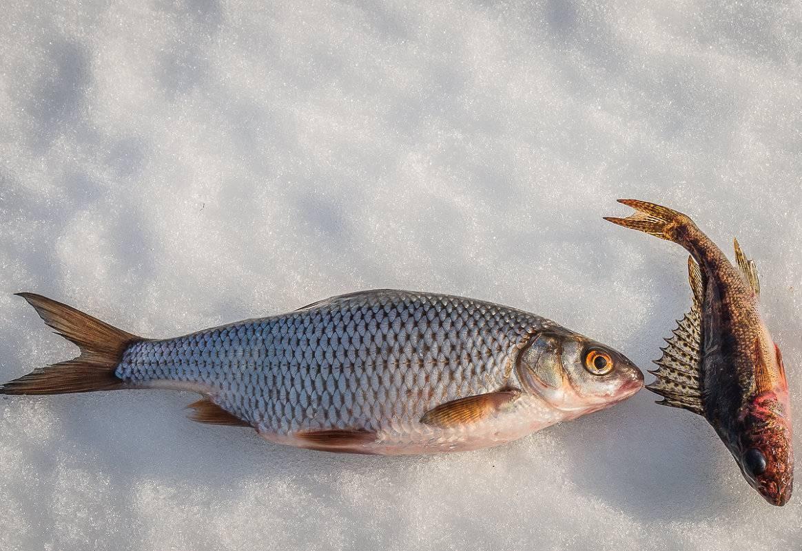 Чебак рыба или сибирская плотва: что за рыба, описание, как ловить