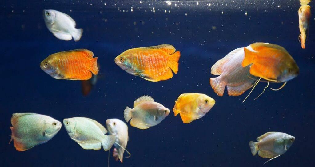 Лялиус, аквариумная рыбка, фото, содержание и уход, размножение и разведение, совместимость, болезни, красный лялиус