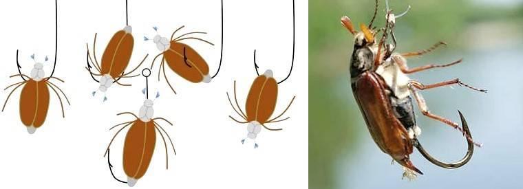 Ловля голавля на майского жука: снасть, наживка и техника
