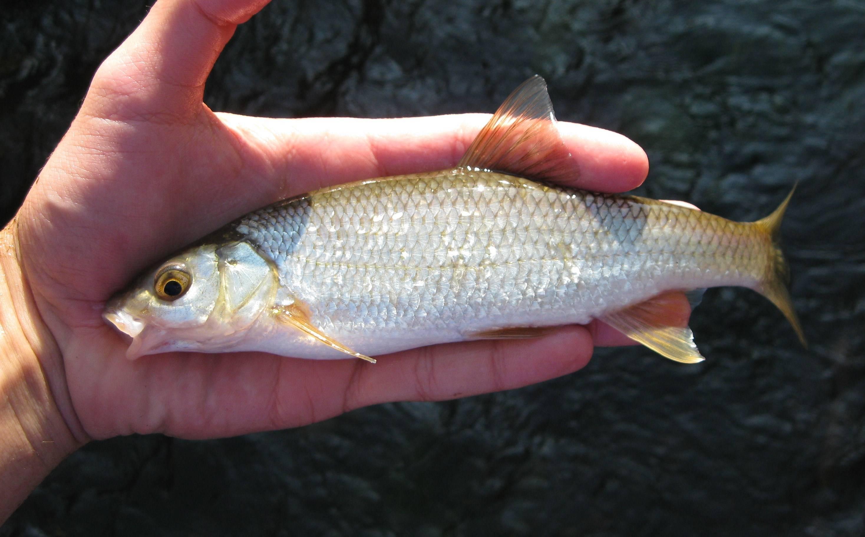Рыба аргентина: польза и вред, где водится, как выглядит, какой вкус, калорийность, отзывы