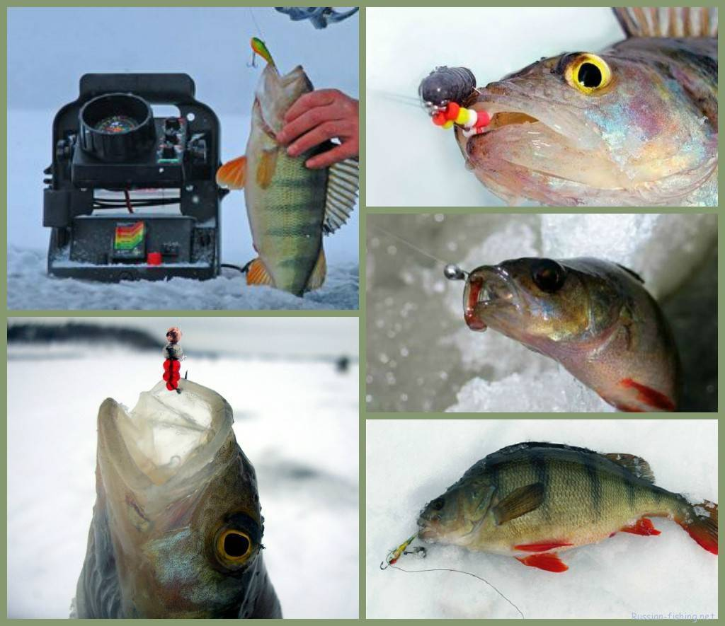 Ловля окуня зимой: снасти, приманки и тактика