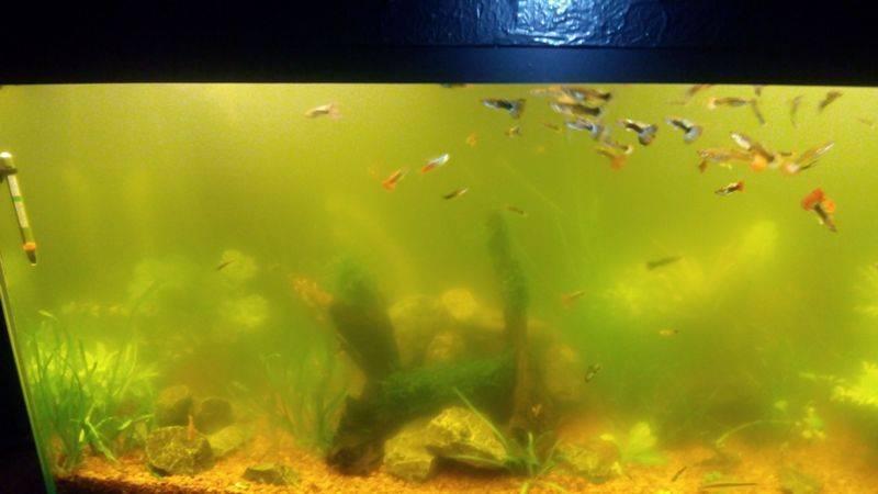 Мутный аквариум: от чего и почему мутнеет вода, причины, как устранить?