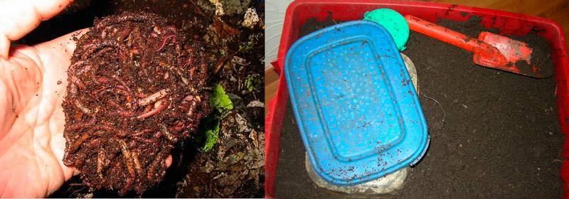 Как выращивать навозных червей в домашних условиях - сад и огород
