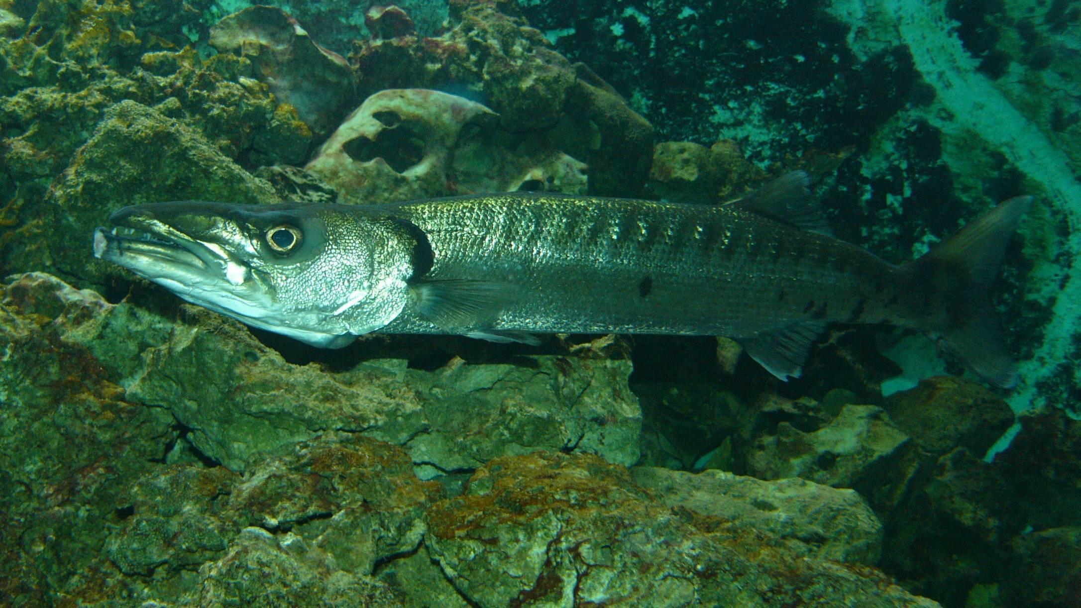 Рыба барракуда: виды, описание, где обитает, чем питается. рыба барракуда: образ жизни и промысловая ценность
