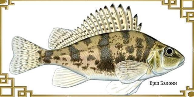 Рыба ёрш: описание, ареал обитания и как выглядит, особенности ловли, фото