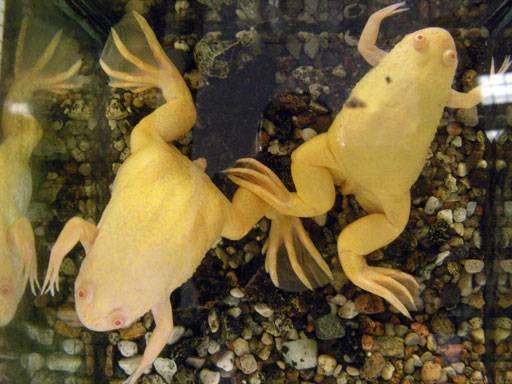 Лягушка шпорцевая: описание, условия содержания, размножение, уход