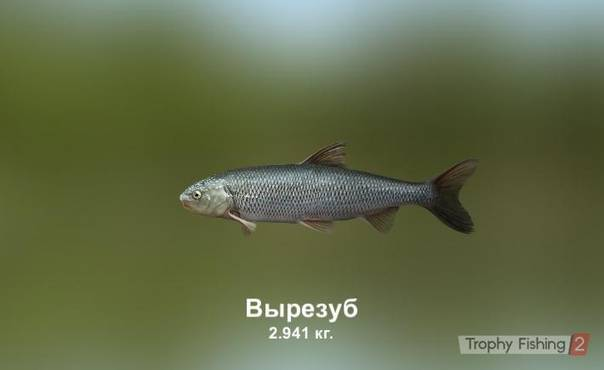 Вырезуб – что это за рыба и хитрости профессионалов по ее вылову (видео + 95 фото)