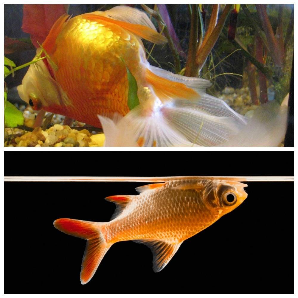 Почему золотая рыбка плавает кверху брюхом (живая и дышит), что делать