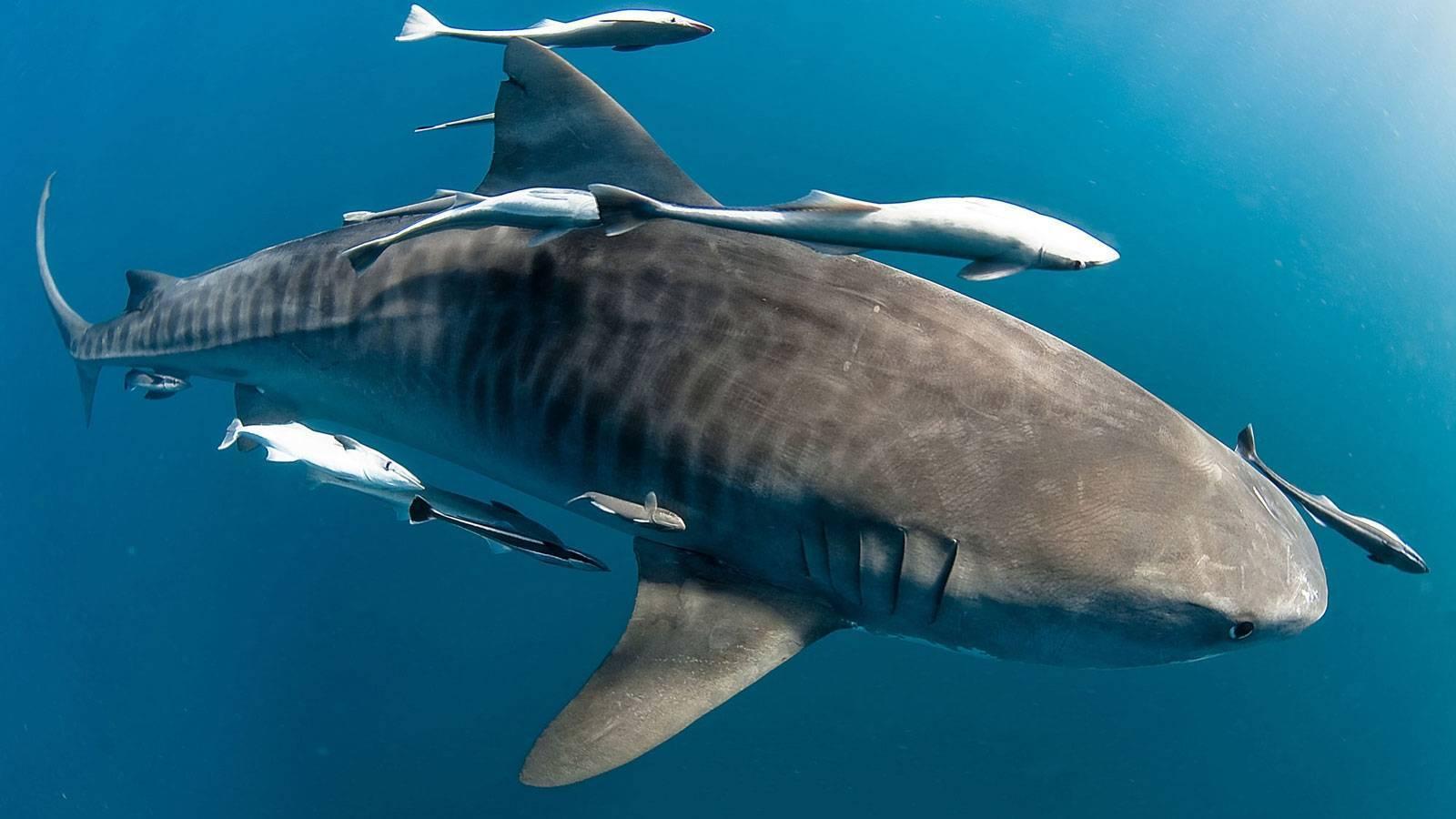 Спутники акулы - лоцманы и рыбы-прилипалы ∞ лагуна акул