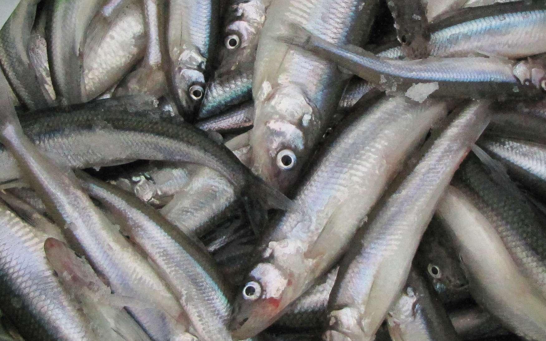 Корюшка: чем питается эта рыба, где водится в россии и зарубежом