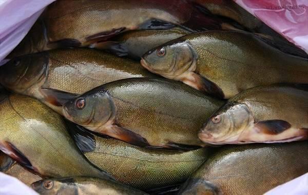 Линь: рыба линь фото и описание, нерест, способы ловли, образ жизни, приманки, калорийность