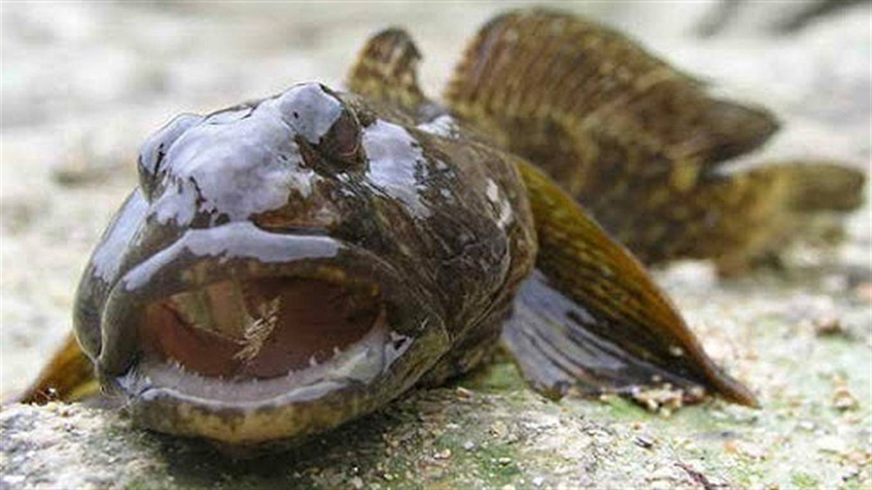 Морской бычок - описание рыбы и и как ее приготовить