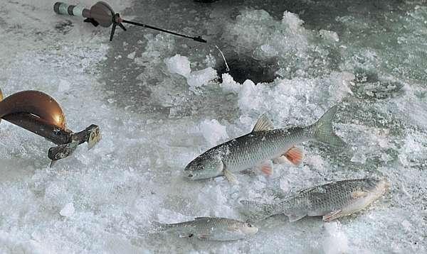 Ловля голавля зимой: снасти и техника проводки для ловли рыбы на малых реках, полезные советы