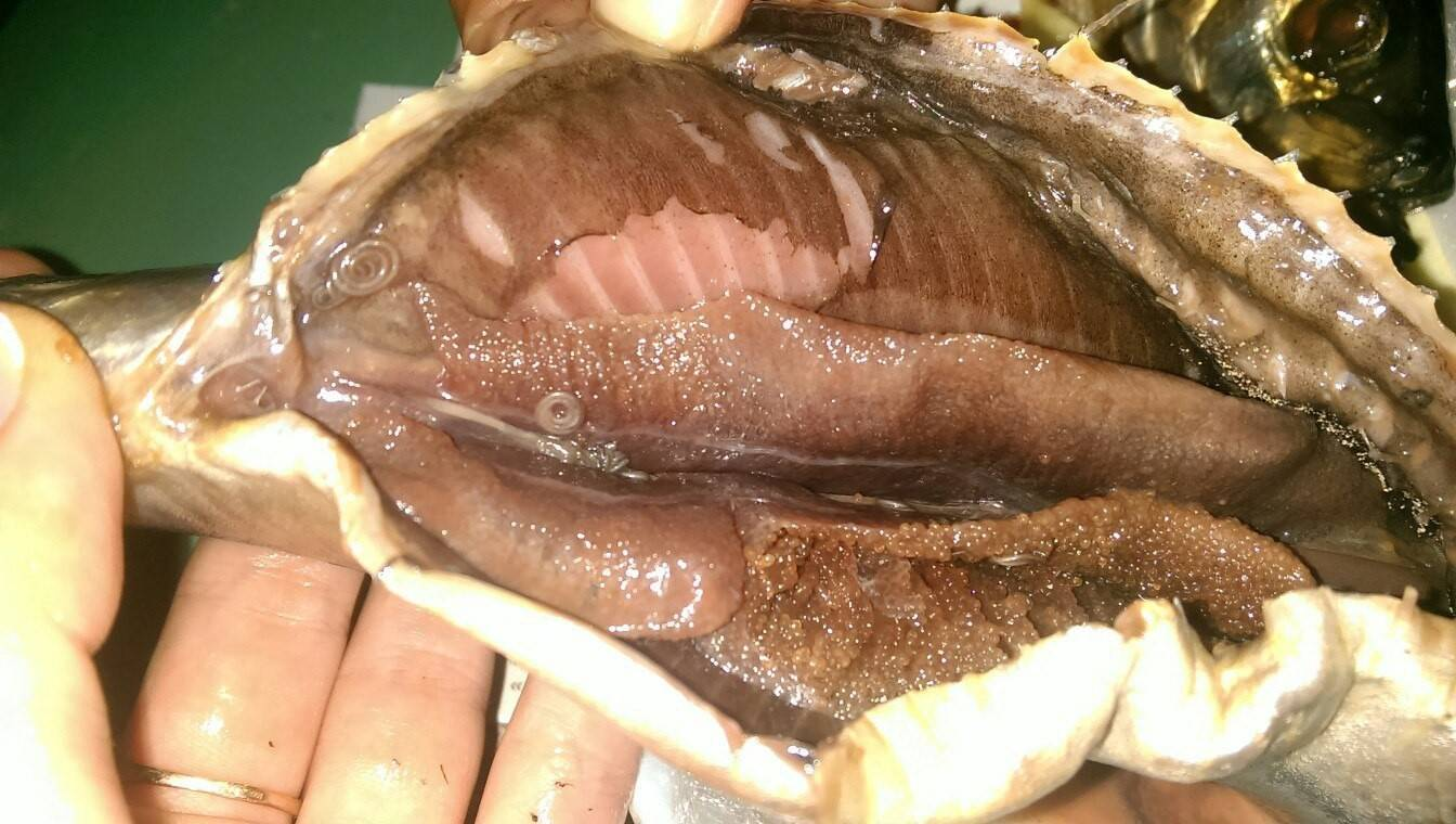 Бывают ли глисты в карасях, как они выглядят и можно ли есть такую рыбу