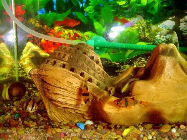 Рыбка гуппи память 3 секунды. слово опытных аквариумистов. как и что запоминают рыбы