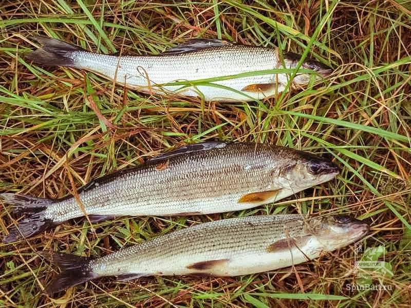 Ловля хариуса на терси день 2 — рыбалка в кемеровской области