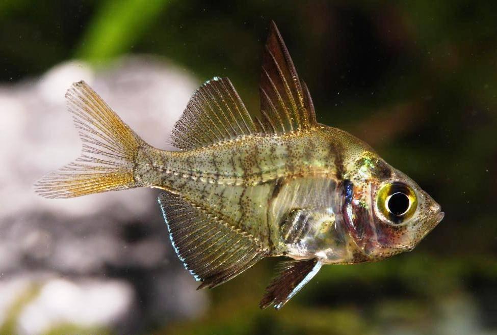 Стеклянный окунь – прозрачная рыба для дома