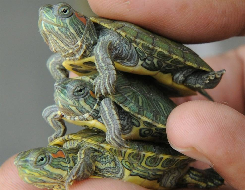 Как определить пол водной красноухой черепахи