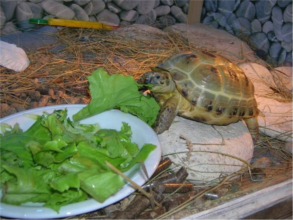 Уход за болотной черепахой в домашних условиях