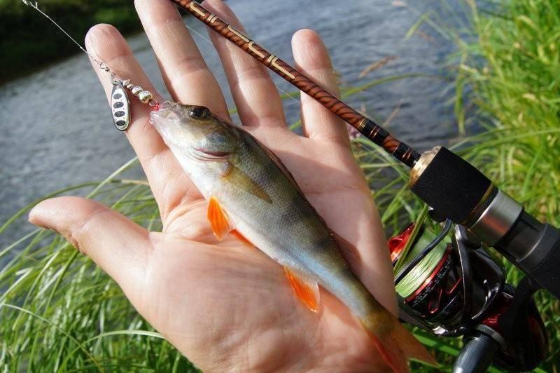 Стерлядь: обзор рыбы, описание поведения и места обитания. приманки, снасти, техники и наживки для лова стерляди (95 фото + видео)