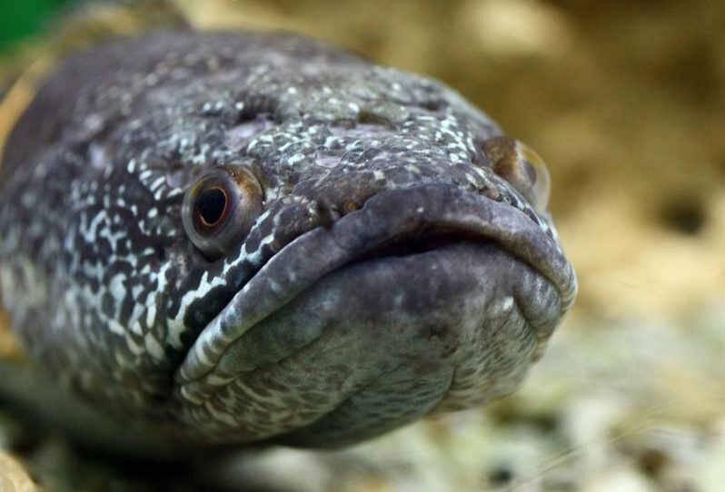 Змееголов – необычная рыба-хищник с интересными повадками