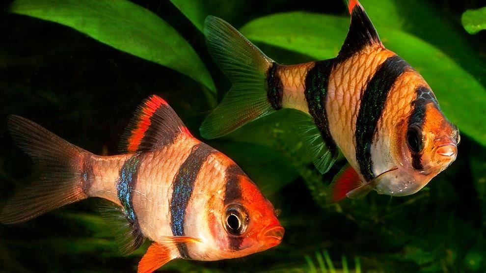 Барбус суматранский: содержание, чем кормить, как размножаются, отличия и совместимость
