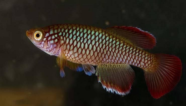 Нотобранхиус рыбка. описание, особенности, виды и уход за нотобранхиусом