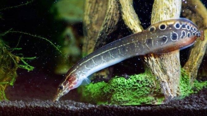Пресмыкающаяся рыбка каламоихт