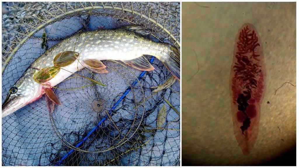 Описторхоз в рыбе: можно ли заразиться описторхозом в щуке, пеляди и речной рыбе