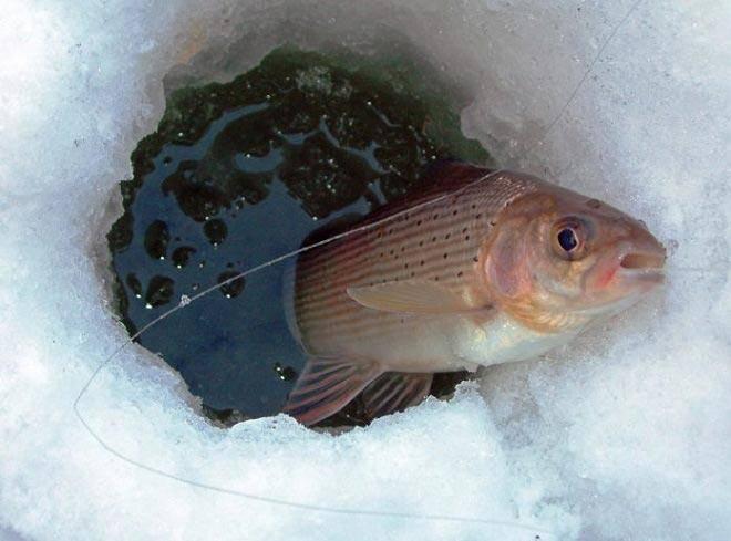 Календарь для ловли хариуса, прогноз клева рыбы в вашем регионе, в какое время лучше клюет хариус.