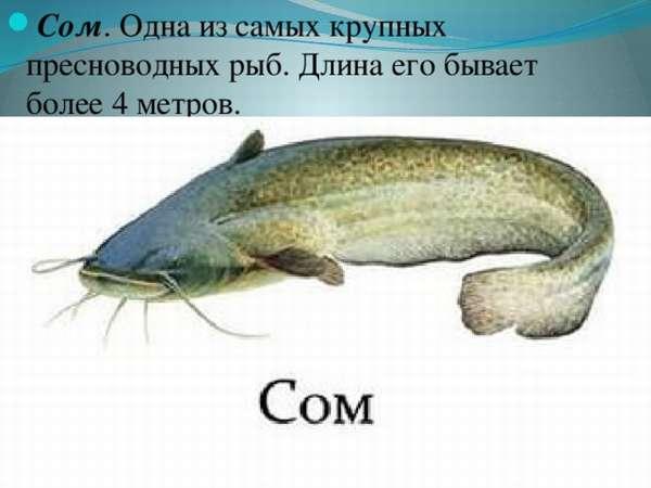 Сом, виды сомов, нерест, места обитания и питание, как ловить сома