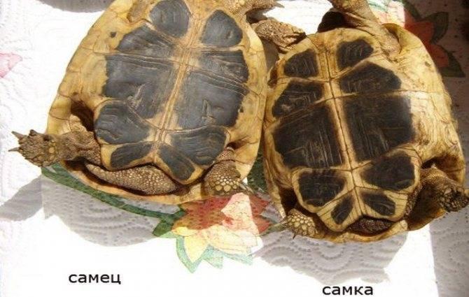 Красноухая черепаха: как узнать пол в домашних условиях, отличить самку от самца