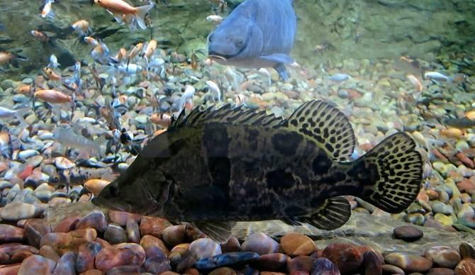Солнечный окунь: фото, размеры, обитание, в аквариуме