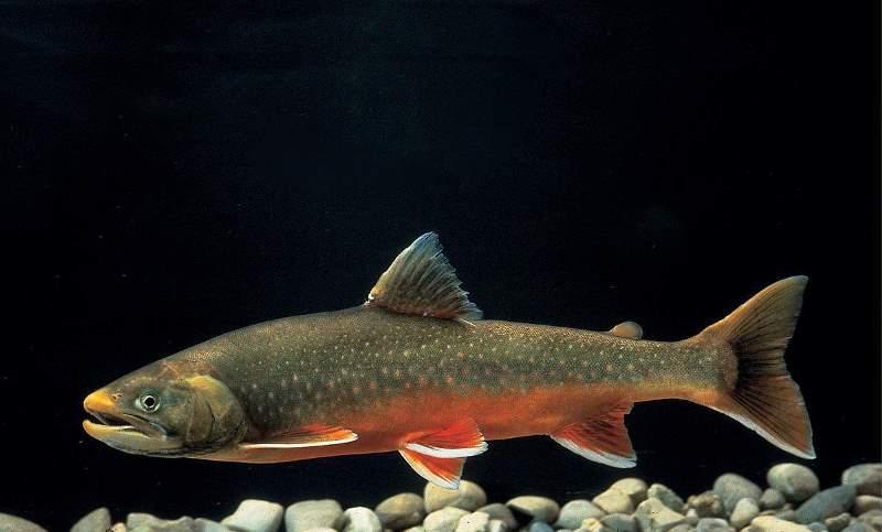 Как выглядит рыба кета, чем отличается от горбуши: фото, как ловить, какая лучше?